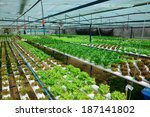green lettuce  cultivation... | Shutterstock . vector #187141802