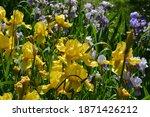 Iris. Perennial Rhizomatous...