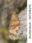 Small photo of Tortricidae moth on wood, macro photo
