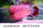 Flowerhorn Fish Are One Of The...