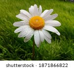 One White Daisy Flower With...