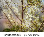 Small photo of Artistically blurred image of flowering white Acacia angustissima bush