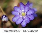 Liverwort  Hepatica Nobilis ...
