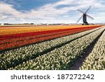Windmill On Field Of Tulips In...