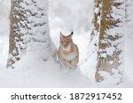 Snowy Cat In Nature Habitat....