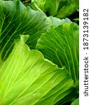 The Cabbage Plant Is A Leaf...