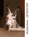 Donkey Portrait With Long Ears...