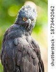 Portrait Of A Black Hawk Eagle  ...