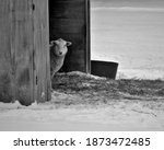 A Curious Little Sheep Peering...