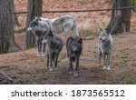 A Pack Of 5 Captive Gray Wolves ...