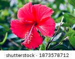 Red Hibiscus Flower Blooming In ...