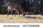 A Young White Tailed Deer Eats...