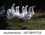 Wild Goose Chase  White Geese