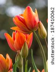 Beautiful Tall Orange Tulips I...