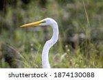 Great White Egrets Flying...