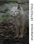 Portrait Of Corsac Fox In Zoo