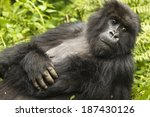Mountain Gorilla  Gorilla...