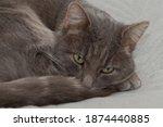 Domestic Cat On A Gray Sofa...