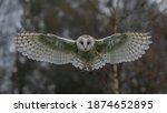 Flying Barn Owl  Tyto Alba  ...
