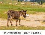 A Donkey Cub Grazes On A Green...