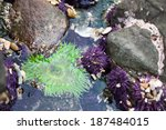 Green Sea Anemone And Urchins...