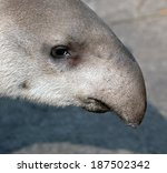 tapir snout closeup portrait... | Shutterstock . vector #187502342