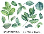 Set Of Green Leaves Of Rose ...