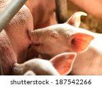 Newborn Piglet Sucking The...