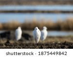 Front View Of Snowy Egret In...
