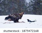 Majestic Predator Golden Eagle  ...