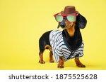 Funny Little Dachshund Wearing...