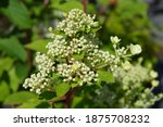Paniculate Hydrangea Wims Red...