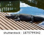 An Alligator Resting On A Dock.
