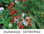 Coreopsis Tinctoria 'roulette'...