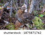 View of a female Canada grouse (Falcipennis canadensis) in the Gaspésie national park, Canada