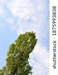 Lombardy Poplar Treetop In A...