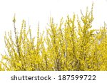 Blooming Forsythia Bush...