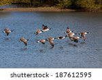 Canada Geese Flying Over Weir...