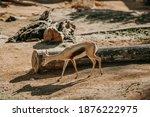 Lesser Kudu Male And Female...