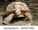 Big African Tortoise On The...