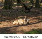 A wolf in a forest in Bavaria - stock photo