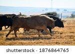 Spanish Fighting Bull Running...