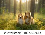 Red Two Sheltie Dogs In The...