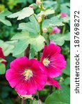 Small photo of Red hollyhock or althaea rosea blossoms in field.