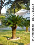 Cycas Tree. Green Plant Of...