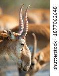 Male Saiga Antelope Or Saiga...