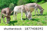 Three Donkeys Put To Pasture On ...