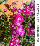 Small photo of Close up of the Annual Phlox in summer Flower garden. Annual Phlox (Phlox drummondii) Flowers. Pink phlox macro. Pink flowers. Summer background. With Selective Focus on the Subject.