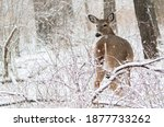 A Young Female Deer Turns...