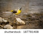 A Grey Wagtail On A Rock By A...